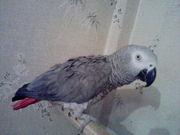 Попугай Жако,  краснохвостый,  ручной,  разговаривает,  возрос 5 лет,  маль