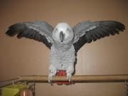 Продам попугая ЖАКО-красивый мальчик и девочка не крикливые не дорого!