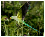 Попугай Ожереловый-Александрийский