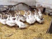 Продам домашних гусей по 5000 тг