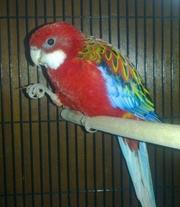 Попугаи красная розелла