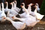 Срочно! Продам гусей итальянской породы