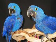 гиацинтом попугая ара