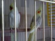 продам попугаев с клеткой
